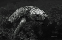 Dignity of the aged loggerhead turtle (kyshokada) Tags: blackandwhite monochrome canon underwater turtle ambientlight honduras scuba diving monochromatic powershot caribbean roatan reef animalplanet loggerheadturtle