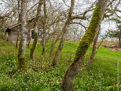 CVPS Hornby 1-3240418.jpg (Nimisha Jimenez) Tags: seagulls clouds waterfall arbutus daffodils hornby vinca treesculpture treetexture fawnlilies cvpsmembers