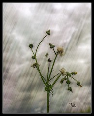 Rainy days (patrick.verstappen) Tags: inspiration plant flower texture garden photo yahoo google nikon flickr belgium pat sigma imagine hdr textured facebook picassa gingelom ipernity d7100 pinterest ipiccy picmonkey