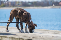 Dog by the Sea (Infomastern) Tags: dog animal hund malm djur geolocation vstrahamnen geocity camera:make=canon exif:make=canon geocountry geostate exif:lens=efs18200mmf3556is exif:focallength=200mm exif:aperture=63 exif:isospeed=100 camera:model=canoneos760d exif:model=canoneos760d