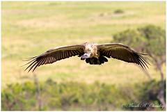 Vulture on the Wing! (MAC's Wild Pixels) Tags: kenya raptor wildanimal vulture scavenger wildbird africanwhitebackedvulture wildafrica vultureinflight birdsofeastafrica maasaimaragamereserve vultureonthewing macswildpixels vultureairinflight