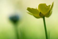 No title (frata60) Tags: macro netherlands yellow closeup weed nikon nederland 55mm micro adapter nikkor geel v1 bloem boterbloem onkruid preais
