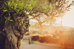 Olive Tree Leaves And Sunset Light (thethomsn) Tags: tree leaves wood light flare dreamy faded creamy soft focus dof bokeh summer evening sunset warmness beautyinnature lightroom5 olivetree bright sunlight natural nature italy sardinia thethomsn sigma 30mm