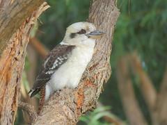 Dacelo novaeguineae 6 (barryaceae) Tags: new lake bird birds wales south sandbar australia aves smiths australianbirds australianbird ausbird ausbirds