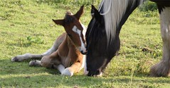 Horse and young foal (rossendale2016) Tags: family horse baby field grass loving snuggle group innocent young mother mum protective gentle pampered snuggling foal nurturing