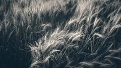 Grain   2016 (Roland C. Vogt) Tags: olympus panasonic 20mm omd   mark2 f17 em5