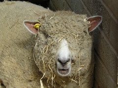 Ryland sheep at Croxteth Hall Home farm (CHCP) Tags: sheep lamb manx rarebreed croxteth homefarm liverpooluk manxloughtan croxtethfarm
