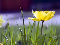 tulipano2012_P3282357_1 (stegdino) Tags: flower flora grandmother tulip thumbsup fiore rockon tulipano twothumbsup bigmomma gamewinner thumbwrestler challengeyouwinner a3b thechallengefactory msh0814 yourockwinner agcgwinner yourockunanimous gamex2winner herowinner thepinnaclehof agcgmegachallengewinner storybookwinner gamex3winner rockconcertwinner pregamesweepwinner storybookttwwinner agcgcrèmedelacrèmewinner agcgcrèmeofthecropchallengewinner ispywinner pregameduelwinner stegomisc transcendingwinner pinnacle20120827 tphofweek165 motmmar13 msh08141