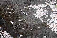 Ripple (mrhayata) Tags: water rain japan cherry geotagged puddle tokyo blog spring blossom ripple petal sakura setagaya mrhayata geo:lat=35649723 geo:lon=139651424