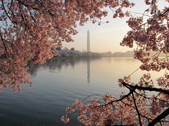 Another Beautiful Sunrise On The Tidal Basin (Dan Dan The Binary Man) Tags: morning pink blue sky usa monument sunrise cherry washingtondc early dc washington petals districtofcolumbia glow blossom district branches blossoms columbia wdc cherryblossom dcist cherryblossoms tidal tidalbasin cherryblossomfestival blueribbonwinner nationalcherryblossomfestival ncbf absolutelystunningscapes blinkagain sunrays5 basinwaterreflectionsreflectionwashington