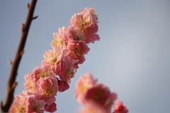 IMG_2460.jpg (dcstrebe) Tags: china asia plumblossomfestival