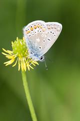 papillon (chouca69) Tags: macro nature fleur butterfly lyon champs papillon couleur insecte mfcc rhnealpes proxi dardilly argusbleu