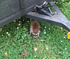 Raccoon (Howard33) Tags: baby critter wildlife coon trailer raccoon clover racoon