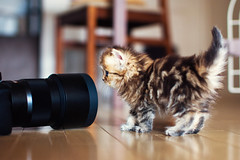 Daisy Encounters Camera (torode) Tags: camera japan cat lens tokyo kitten floor daisy neko  lowangle koneko