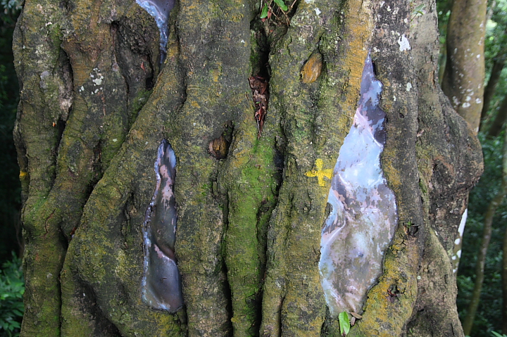 馬武督森林(楊梅阿嬤樹)003