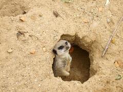 Meerkat 2 (CharlotteK13!) Tags: uk greatbritain england animal zoo bury suffolk meerkat sand hole unitedkingdom buried britain carrot twig gb stick enclosure kessingland africaalive fujifilmfinepix30