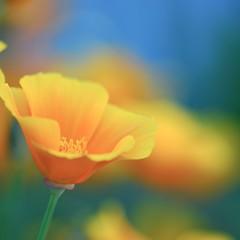 like sunshine (*sapa*) Tags: orange flower poppy californianpoppy sunshiney