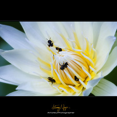 Busyyyyy Beeeee (Nguyn Hong (Mattoet)) Tags: flowers light white flower beautiful beauty yellow closeup leaf petals natural petal vietnam l lanscape hoa artphoto vitnam canon30d hoangnguyen thinnhin nguyenhoang gianh nguynhong nguyenhoangarc hoangnguyenarc