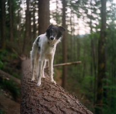 Roy on a Log (Benjamin Postlewait) Tags: trees dog 120 tlr film roy forest mediumformat washington log trail balance windmountain portra400 mxs longhairedwhippet minoltaautocord imnotcrazy hww
