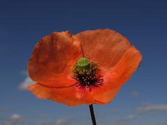 Amapola oblonga (Papaver dubium) (jacilluch) Tags: flowers red flower macro fleur fleurs flor blossoms poppy pop