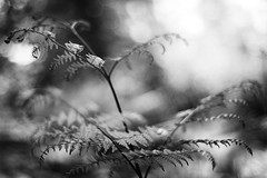 Soft As The Wind (belleshaw) Tags: blackandwhite plant fern nature bokeh delicate 50mmf18 ranchosantaanabotanicgarden claremontca