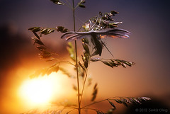 Pterophorus pentadactyla (White Plume Moth) - at sunset (Serkiz Oleg) Tags: light sunset sky sun macro art nature nikon flash moth ukraine softbox diffuser macrophotography chernivtsi d80 whiteplumemoth pterophoruspentadactyla serkizoleg