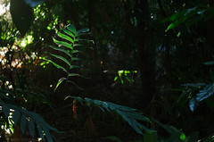 in the rainforest (natedregerphoto) Tags: plants fern green 35mm nikon iso400 australia brisbane queensland tropical backlit botanicalgarden f28 52mm35mmequiv vsco d7000 0mmf0
