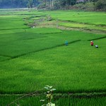 "Rice Field <a style=""margin-left:10px; font-size:0.8em;"" href=""http://www.flickr.com/photos/14315427@N00/7268026992/"" target=""_blank"">@flickr</a>"