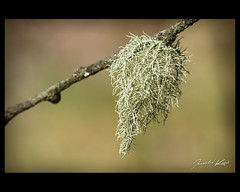 Usnea hirta / Beard Lichen / Provazovka srstnat (Jaroslav Kaas) Tags: canon fungi ascomycota sacfungi lecanorales lecanoromycetes parmeliaceae camera:make=canon taxonomy:kingdom=fungi exif:make=canon exif:iso_speed=400 exif:aperture=f8 taxonomy:order=lecanorales taxonomy:family=parmeliaceae taxonomy:genus=usnea taxonomy:phylum=ascomycota exif:flash=off taxonomy:species=hirta taxonomy:class=lecanoromycetes taxonomy:binomial=usneahirta camera:model=canoneos7d exif:model=canoneos7d exif:tripod=on exif:exposure=1200sec exif:lens=canonef100mmf28lmacroisusm original:filename=img14367jpg elitemossandlichen