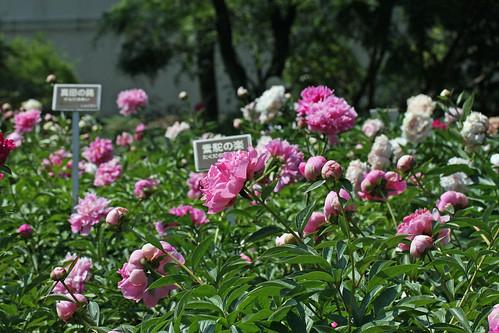 神代植物公園のシャクヤク(Chinese peony at Jindai Botanical Park)