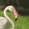 Flamingo (ZiZLoSs) Tags: canon photography eos flamingo photographers kuwait aziz abdulaziz 600d zizloss 3aziz almanie