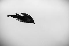 Dive (Brînzei) Tags: autorevuenon70210mmf4mczoom bucurești m42 animals bw birds manualfocus motion silhouette sky ★ vignette flying crows canoneos400d kironprecision blackandwhite