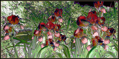 Irises: Red Red Wine (Tim Noonan) Tags: flowers red summer green art nature june digital photoshop garden tim diptych wine manipulation shining irises hypothetical tistheseason digi vividimagination artdigital shockofthenew sotn stickybeak newreality sharingart maxfudge awardtree maxfudgeexcellence maxfudgeawardandexcellencegroup daarklands exoticimage digitalartscene netartii donnasmagicalpix digitalartscenepro