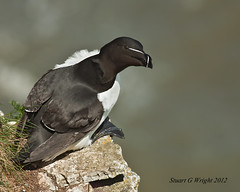 Razorbill (Stuart G Wright Photography) Tags: bird birds wildlife razorbill bempton wwwstuartgwrightcom