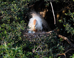Cattle Egret wit Eggs (Let there be light (Andy)) Tags: texas rookery nesting cattleegret highisland texasbirds featheryfriday houstonaudubon uppertexascoast smithoaks globalbirdtrekkers slbnesting
