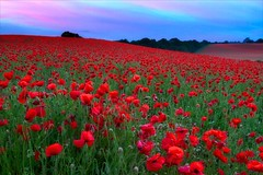 Poppy Field (richjjones) Tags: sunset field canon spring 7d poppy poppies worcestershire 1740mm lseries bewdley