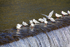 (Yorozuna / ) Tags: birds japan river kyoto kamogawa blackheadedgull    blacktailedgull      kamogawariver