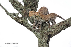 Leopard Mom and cub (MyKeyC) Tags: africa tanzania leopard todd leopards leopardsintree leopardmomandcub aaacolevanscd
