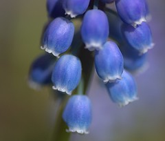 Softly Blue (Chrissie28IWish! ~ hubby passed away 5th Dec peace) Tags: blue white flower macro green floral closeup bokeh grape hyacinth muscari tepal