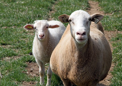 Rose (baalands) Tags: hair spring twins sheep pasture lamb katahdin ewe