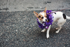 The Pup in the Purple Wreath (Slow Little Photo) Tags: nyc newyorkcity dog ny newyork cute america festive easter spring pavement weekend manhattan sunday adorable streetphotography midtown wreath april leash paws nuevayork easterday 2014 easterparade eastersunday midtownmanhattan dressedupdog bonnetfestival eastermarch easterdayparade