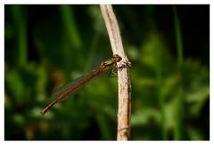 Large Red Damselfly. (vegetus aer) Tags: wildlife damselfly cambridgeshire wildlifetrust woodwaltonfen largereddamselfly greatfen greatfenproject bcnwildlifetrust