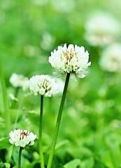 P5022164 (eriko_jpn) Tags: whiteflower clover wildflower
