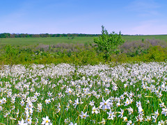 (Alin B.) Tags: wild white flower nature spring may meadow mai scent primavara narcisus gorj narcise tgjiu poianacunarcise alinbrotea