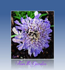 Pin Cushsion Flower (Lynn English) Tags: flower lavender frame pincushion scabiosa