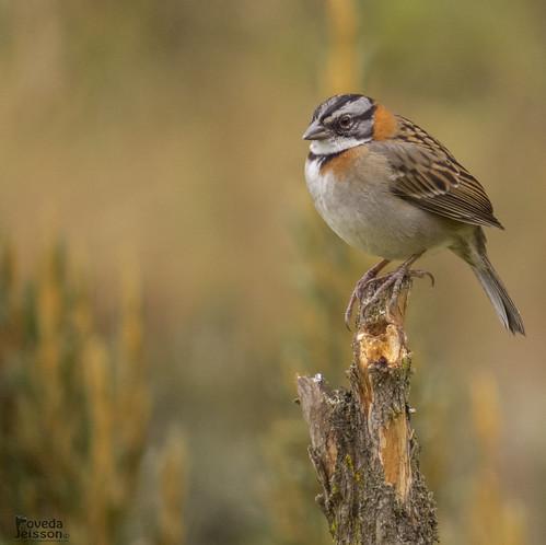 Copetón, Pinche o Afrechero (Zonotrichia capensis)-Rufous-collared Sparrow
