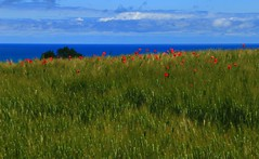 Painted by the wind _MG_1812m(2) (maxo1965) Tags: motion blur landscape coast day bright wind wheat hills poppies marche adriatic