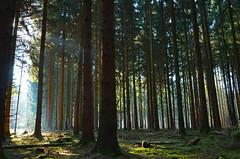 DSC_0849 ein traumhafter Morgen im Wald- a dreamlike morning in the forest (baerli08ww) Tags: light tree forest germany deutschland licht nikon nebel shade wald schatten baum morningsun rheinlandpfalz morgensonne westerwald rhinelandpalatinate westerforest