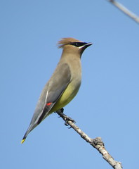 Cedar Waxwing (Bug Eric) Tags: usa nature birds animals outdoors nebraska wildlife birding northamerica migration ornithology birdwatching cedarwaxwing waxwings songbirds greatplains holdrege may72016 lakeseldomwildliferefuge