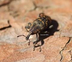 Mnchbruch Curculionidae (Phil Arachno) Tags: germany hessen deu arthropoda coleoptera insecta curculionidae hexapoda mnchbruch